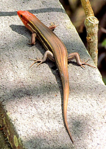 Southern five-lined skink